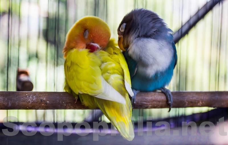 LoveBird-Pasar Burung Malang-8923